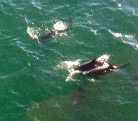 Dolphins California Helicopter tour LA